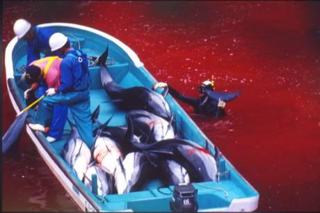 caccia ai delfini in giappone