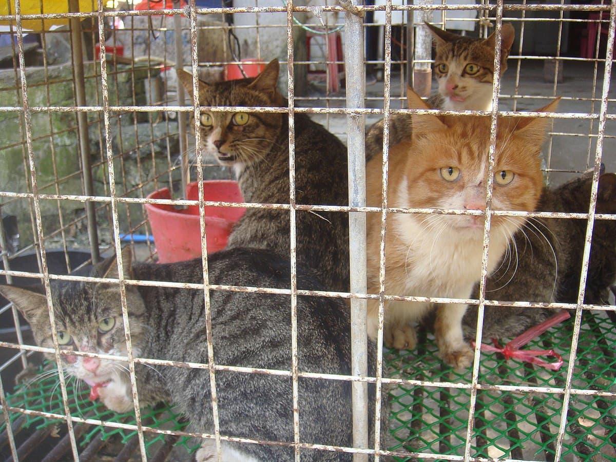 Yulin mercato dei cani e gatti